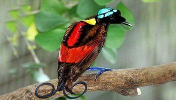 Aves do Paraiso   Informações, Características e Curiosidades