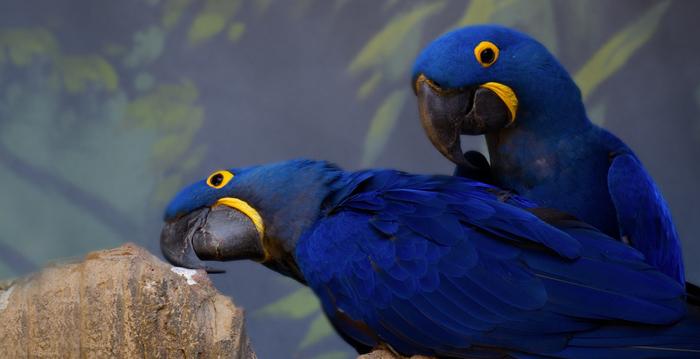 Arara azul, Reino das aves Arara