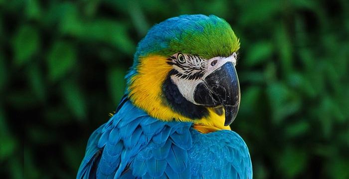 Arara-de-cabeça-azul, Reino das aves Arara