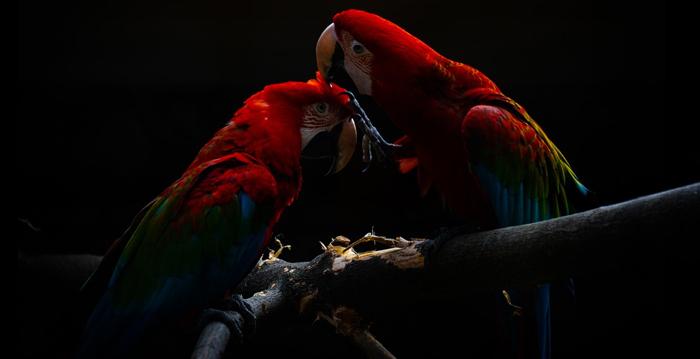 Araracanga, Reino das aves Arara